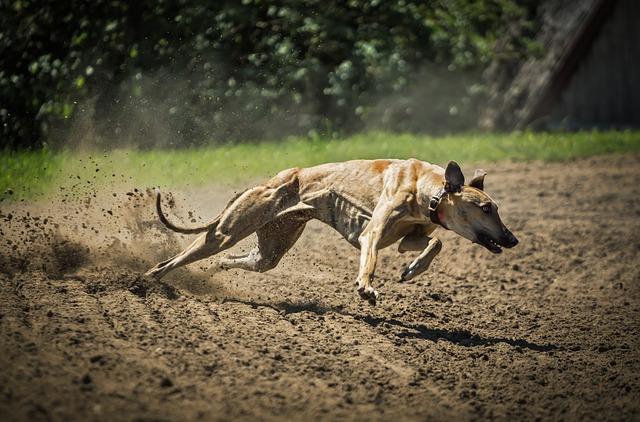 Ungarsk mynde på løpebanen